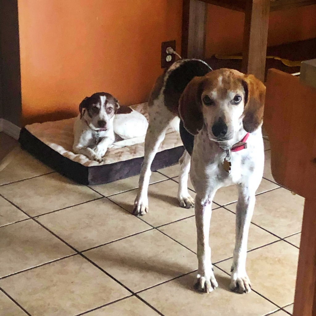 Two cute brown and white dogs