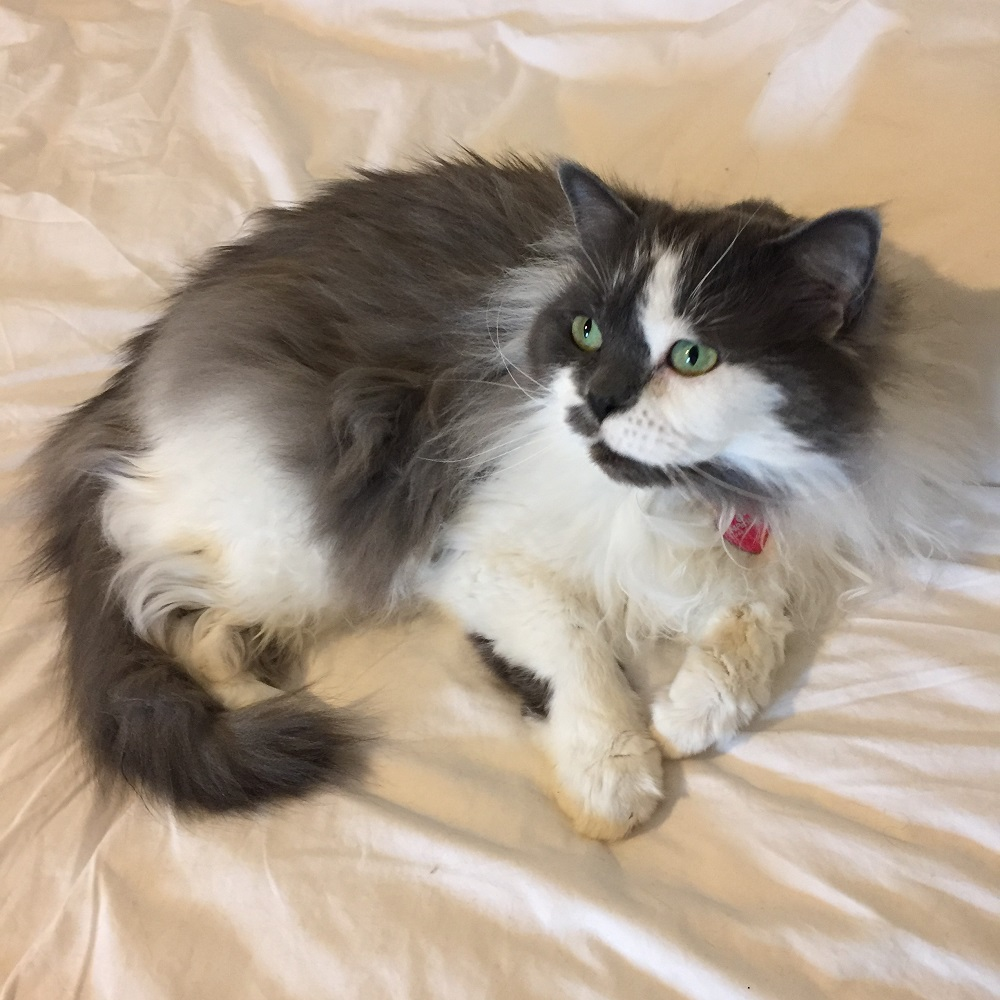 Mottyl, a fluffy grey and white cat