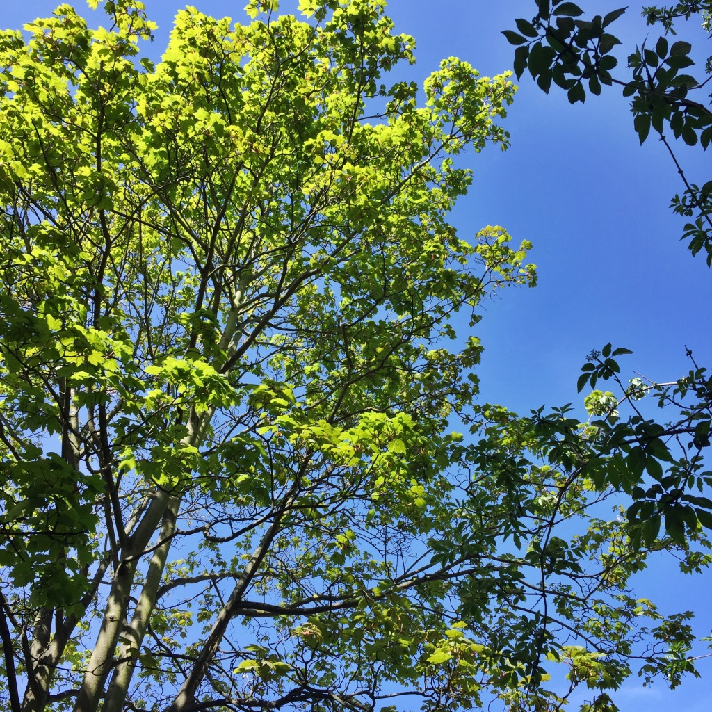 Leafy green branches against a clear blue sky.