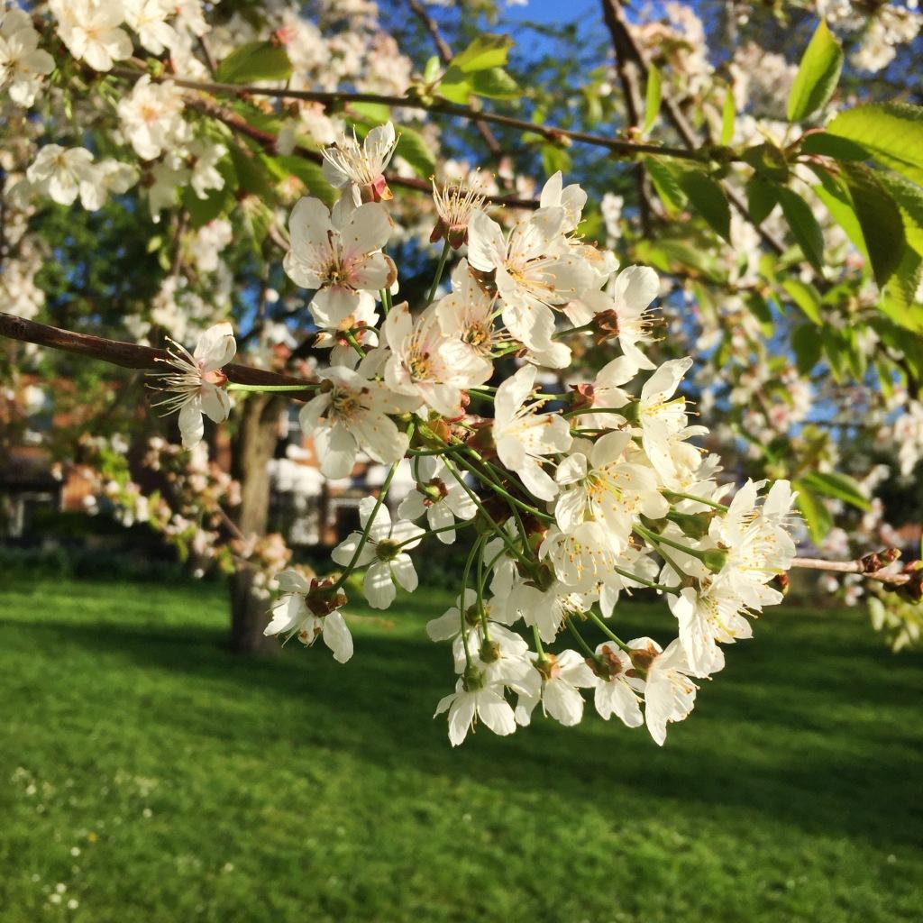 White cherry blossom bough