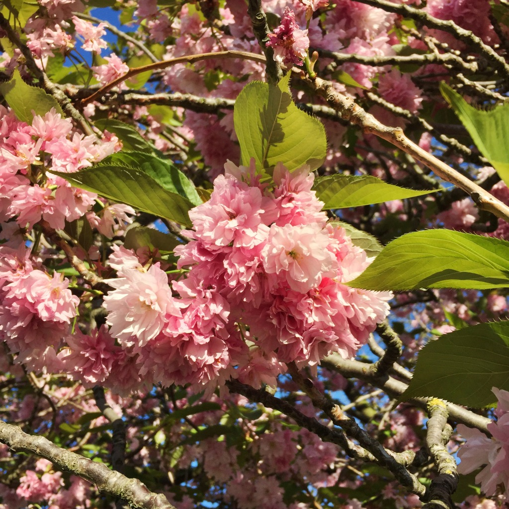 Pink cherry blossom bough