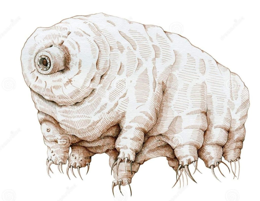 An illustration of a tardigrade